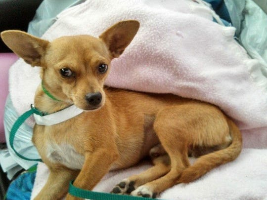 A dog at Maricopa County Animal Control's East Valley