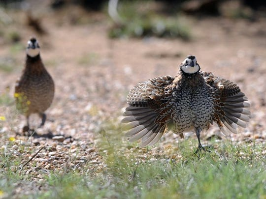Bobwhite quail rush forward after hearing a whistle imitating a chick in distress.