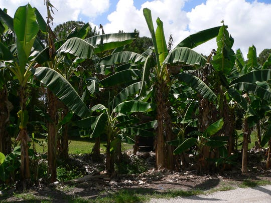 Banana groves line the path during the ECHO Global Farm tour