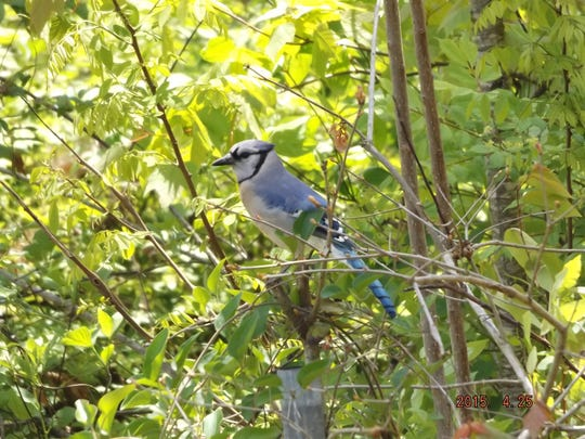 The Blue Jay always looks like his suit of feathers is pristine clean.