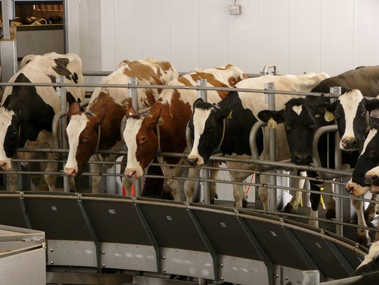 "Cows are milked on the Sternweis' family's 40-stall rotary parlor near Marshfield.  VitaPlus dairy development manager Gary Sipiorski assures farmers that ""We're going to get out of this (downturn in the dairy economy), but it's going to take some time""."