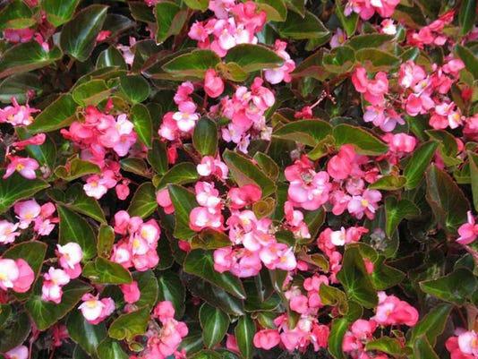 636688311248013461-GardenPhoto0801BigBegonia.jpg