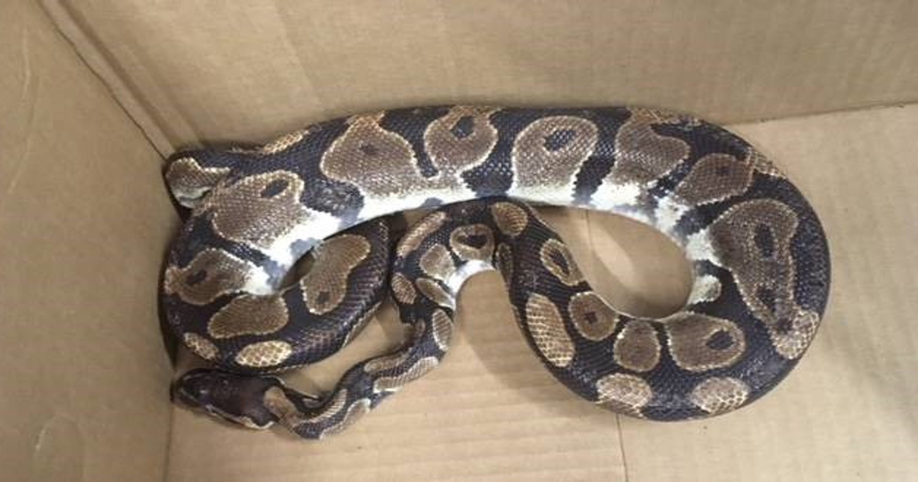 Surprise resident recycles 6-foot python