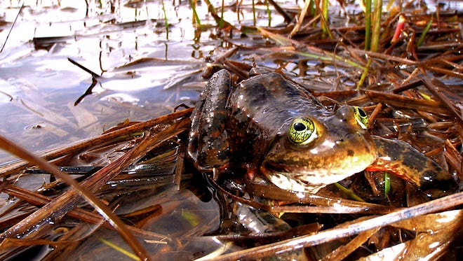 This undated photo provided by the U.S. Fish and Wildlife Servce shows an Oregon spotted frog, which was listed Thursday, Aug. 28, 2014 as a threatened species. Once common across Oregon and Washington, the frog is only found in scattered and isolated wetlands amounting to 10 percent of its former range.