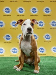 Daphne, a pit bull from Operation Education Animal Rescue, will compete in this year's Puppy Bowl.