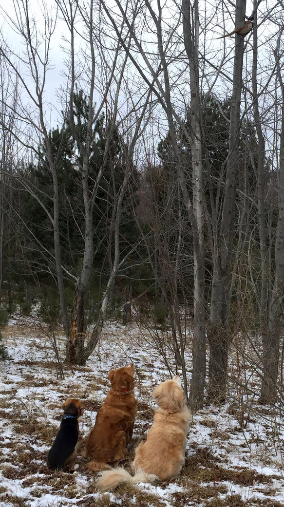 All three dogs were mesmerized by the sight of a pheasant