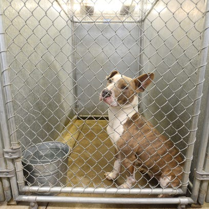A dog looks out of its cage at the Muskingum County