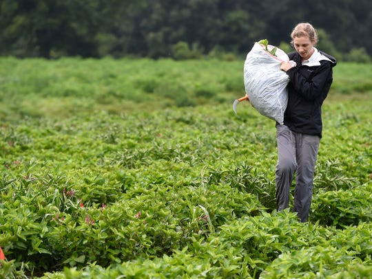 Elizabeth Stone carries a sack of indigo from a field
