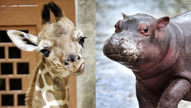 The Memphis Zoo's new babies, Bogey, a reticulated giraffe born on April 3rd, and Winnie, the Nile hippo born on March 23rd, are the Laurel and Hardy of the Memphis Zoo says columnist John Beifuss.