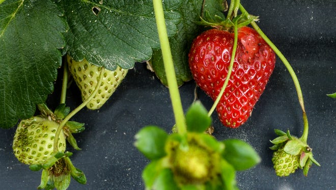 Strawberries grow out of the blooms at Berry Acres farm, before the expected opening date of April 16.