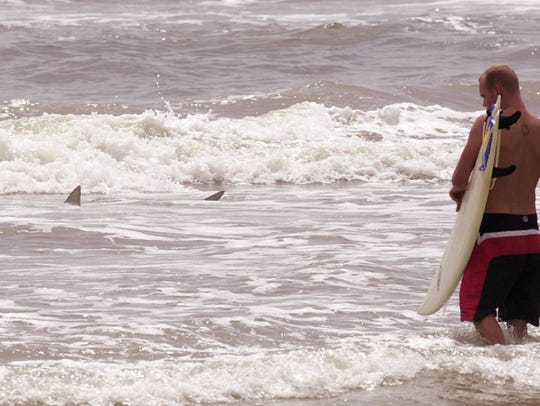 A surfer observes a larger shark near the breakers