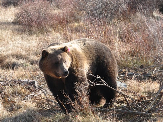 Montana wildlife officials euthanized a female grizzly bear and relocated two of her three cubs after they broke into structures in the Seeley-Swan Valley to get grain.