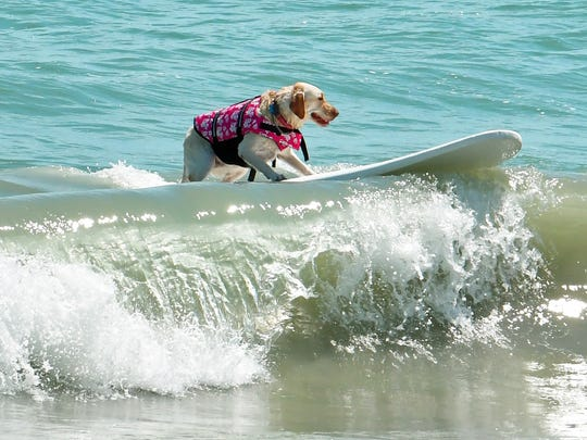 Lily did not disappoint her fans, and caught several decent waves at the 2018 Cocoa Beach Easter Pro/Am Surfing Festival held at Lori Wilson Park. The event included a dog surfing competition to benefit the Brevard Humane Society.