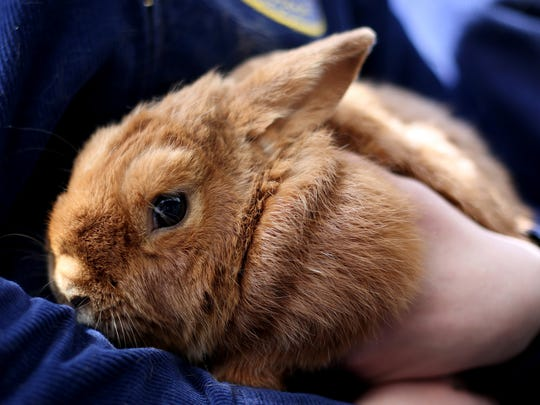 Cedar, an 8-year-old rabbit, will be at the 30th annual Ag Fest at the Oregon State Fairgrounds in Salem April 29 - 30.