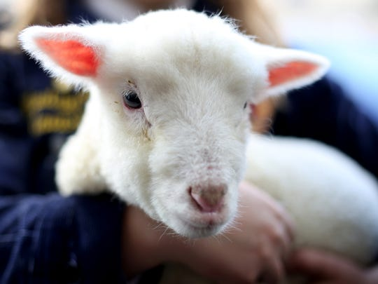 Monte, an 8-week-old lamb, will be at the 30th annual