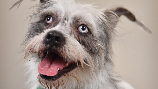 Amelia is a 2-year-old, white and gray mixed breed. She is sweet and loves to fetch. Amelia is available for adoption at the Wichita Falls Animal Services Center.