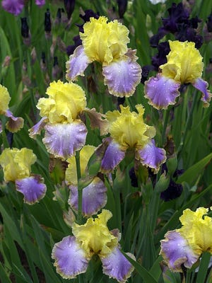 Fall is a great time to dig up and divide many perennials, including irises.