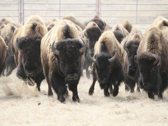 -blackfeet bison_fran.jpg_20140728.jpg