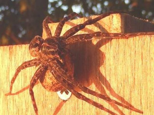 This fishing spider was found on a birdhouse in Vilas County and photographed by an official from the Wisconsin Department of Natural Resources.