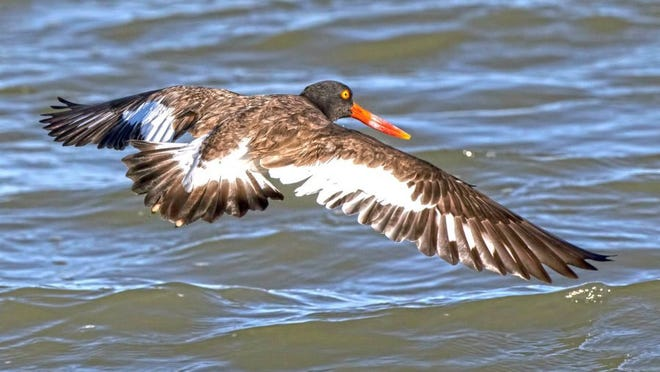 PHOTO COURTESY BECKY JOHNSON The American oystercatcher is one of those birds overlooked by many folks unfamiliar with coastal species. A closer look reveals a bright orange beak and bright yellow eyes.