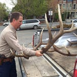 Bryan Golie loads elk antlers into his pickup after they were turned over to the state by two Washington hunters sentenced for illegally shooting elk Friday in Lewis and Clark County Justice Court.