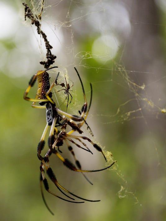 spiderCoastal