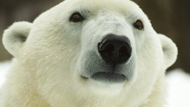 Coldilocks, the Philadelphia Zoo's polar bear, is 36 years old.