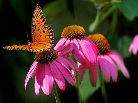 gulf fritillary butterfly on a native purple coneflower - Uf Butterfly Garden