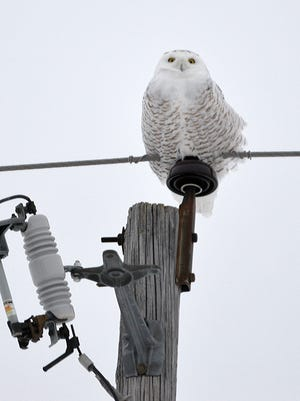 A snowy owl peers down from a telephone pole near Freedom.