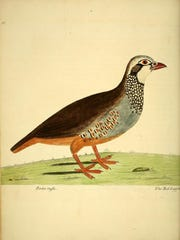 """The red-legged partridge may be the partridge in the pear tree in """"The Twelve Days of Christmas."""" This watercolored print is by 18th-century English naturalist and artist Eleazar Albin."""
