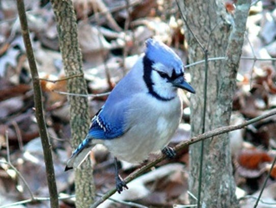 A blue jay's color results from how the feathers scatter
