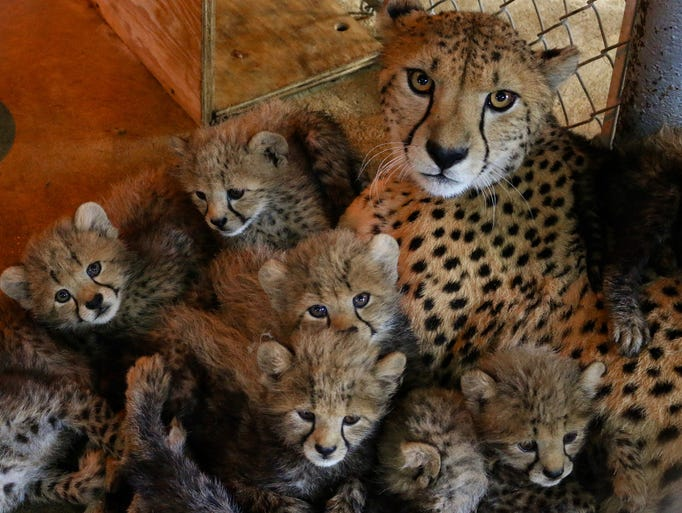 Family portrait: these eight cheetah cubs were born