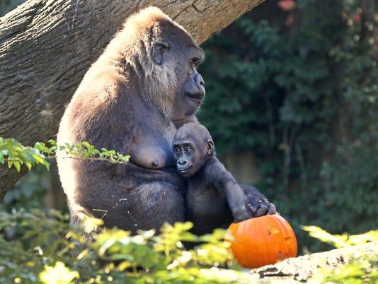 October 7, 2016: Cincinnati Zoo and Botanical Garden, Gorillas, Pumpkins, Halloween, Liz Dufour