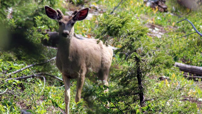 A deer forages in the brambles along St. Mary Lake in Glacier National Park on June 7, 2018.