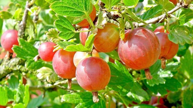 Hinnomaki red gooseberry.