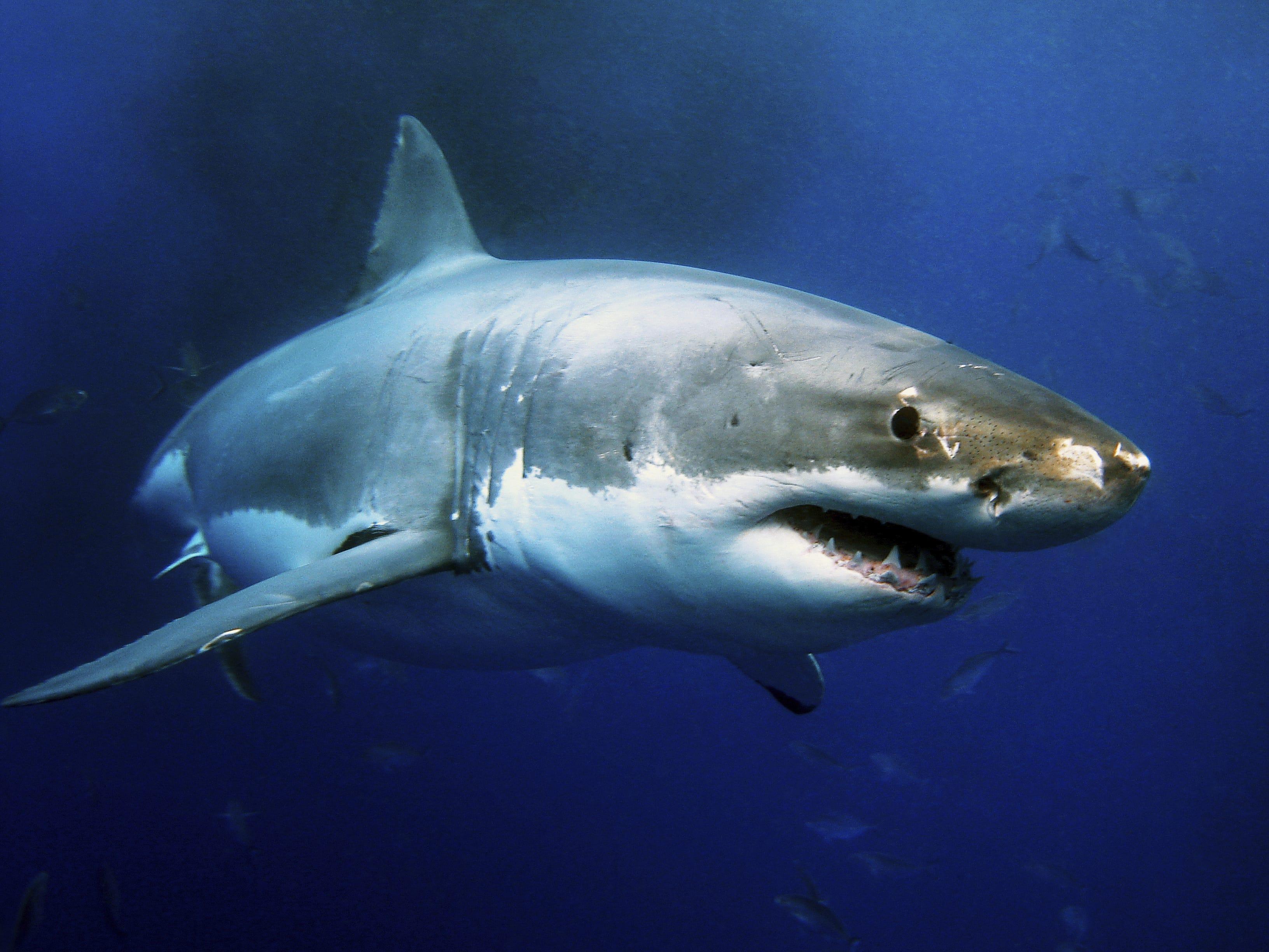 Little-studied goblin shark 41