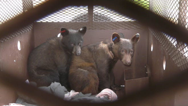 Salyer, left, and Hoopa, two 16-month-old baby black bears, sit in a their temporary home at Lake Tahoe Wildlife Care Inc., a nonprofit organization that raises, rehabilitates and releases orphaned and injured animals in the South Lake Tahoe area.