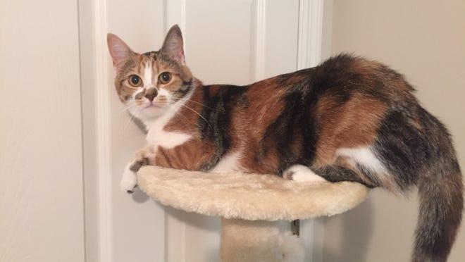 This free-roaming feline is up for adoption, along with a sister cat, through the Rutherford County Cat Rescue group. Email RutherfordCountyCatRescue@gmail.com for details.
