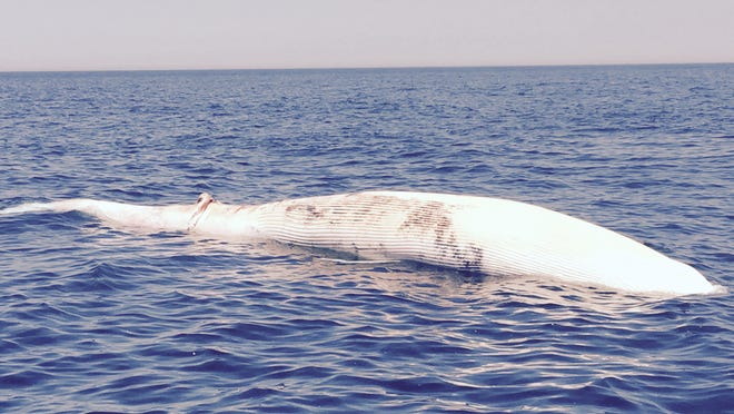A dead Finwhale seen here floating on Wednesday about 18 miles from the Manasquan Inlet.