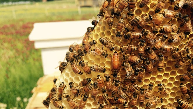 A queen bee is flanked by her hive's worker bees at the Rodale Institute's Honeybee Conservancy.