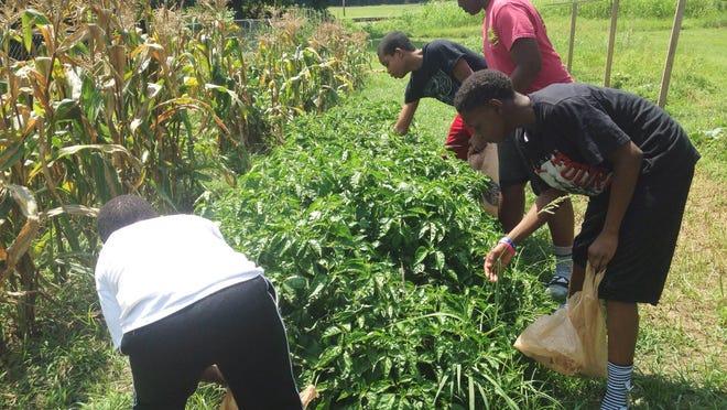 Keep My Hood Good students pick fresh vegetables from their Burton Street community garden on Monday.