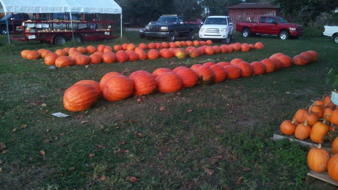 Rows of large pumpkins decorate the yard of the Whitfield Farm Saturday. The regular size pumpkins are the right and are noticeable smaller.