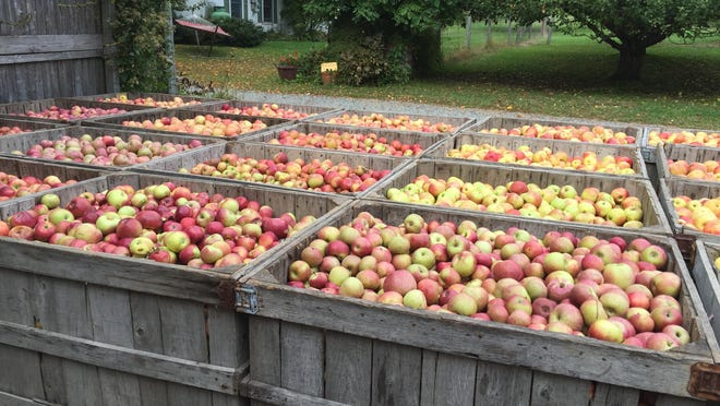 Bins filled with hundreds of fresh apples sit outside the cider mill at Hacklebarney Farm in Chester, waiting to be sorted and washed.