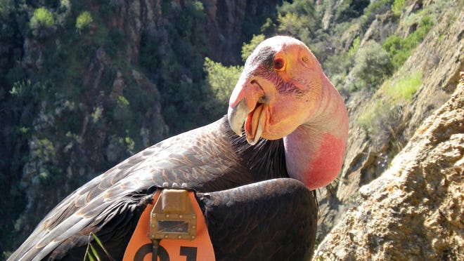 Condor No. 21 wearing a GPS transmitter while perched near his nest in the Hopper Mountain National Wildlife Refuge near Fillmore, Calif. Solar-powered trackers on wings have recorded California condors soaring to 15,000 feet.