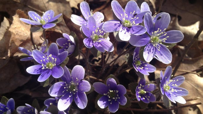 epatica, which come in shades of blue, purple, pink or white, are one of spring's most beautiful wildflowers. It was once used as a medicinal herb, however it was poisonous in large doses