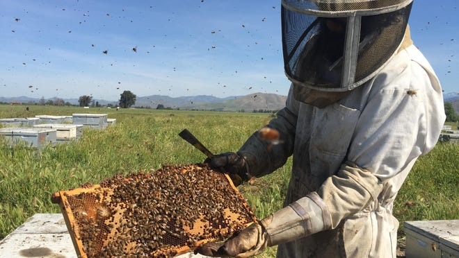 Angel Corona, a beekeeper Visalia-based Bradshaw Honey Farm inspects a hive of honey bees Thursday south of Woodlake before introducing a new queen into it. In all, he and his co-workers introduced new queens into 200 colonies that day.