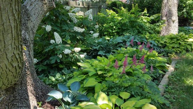 In the new garden, hostas, astilbes, oakleaf hydrangeas and more thrive.