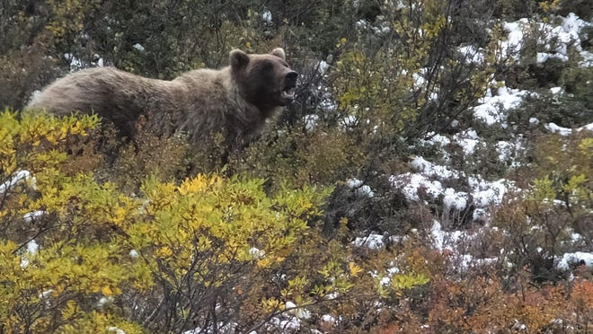 A grizzly bear looks up from foraging in Denali National Park and Preserve, Alaska, in 2015.