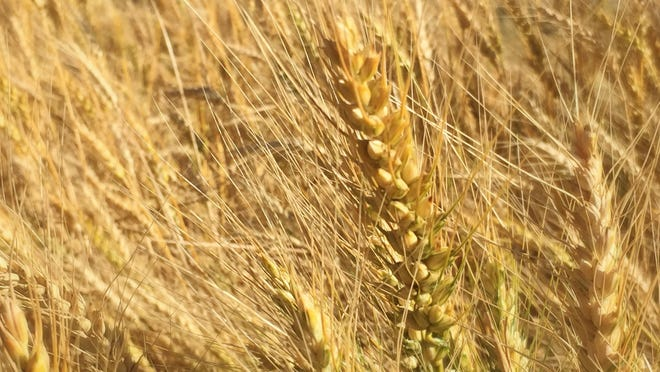 Genetically modified wheat not approved for sale or commercial production in the United States has been found growing in a field in Washington state, agriculture officials said Friday.