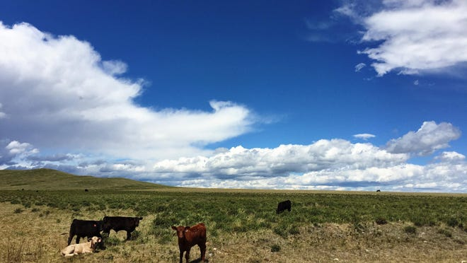 Cows graze in the Blackleaf area along the Rocky Mountain Front. This year, has been one of the coldest snowiest winters on record and has made life miserable for cattle and ranchers.